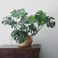 lättsköttaväxter-1